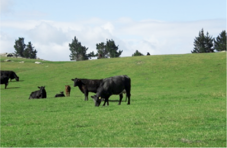 New Zealand grass-fed cattle
